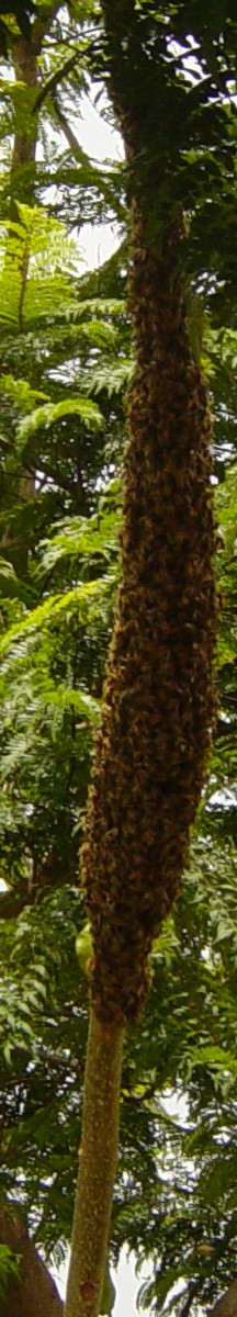 Bee Swarm in a tree.